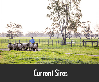Allendale Current Suffolk Sires