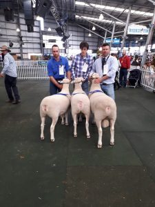 1st group 1 ram and 2 ewes