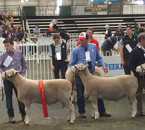Second Prize Pair of Rams - Lot 20 with Gus and Lot 19 with Alastair at Annual Sale.