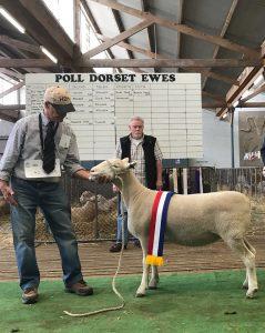 champ PD ewe