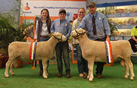 2014 Royal Adelaide Show Poll Dorset Junior and Senior Champion Rams Poll Dorset Interbreed Supreme Ram
