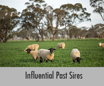 Allendale Influential Past Suffolk Sires