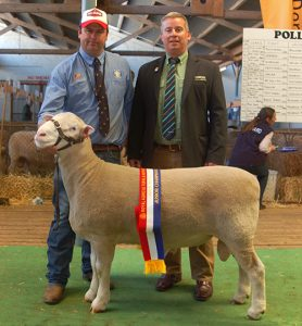 2015 Royal Adelaide Show Junior Champion Poll Dorset Ram