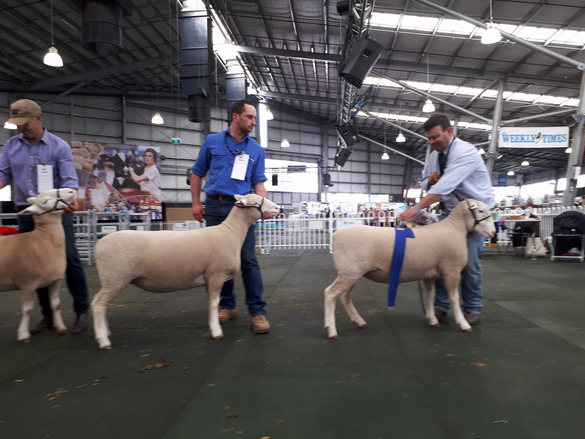 PD 1st Pair Ewes