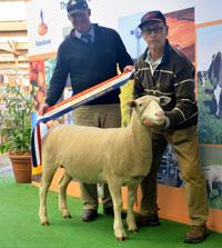 2016 Royal Adelaide Show Allendale wins Champion Poll Dorset Ewe & Reserve Supreme Interbreed Shortwool Ewe.