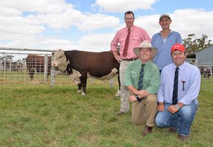 Top priced Hereford bull from Allendale Sale 2017