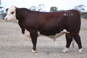 Dubbo National Sale Bulls 2019