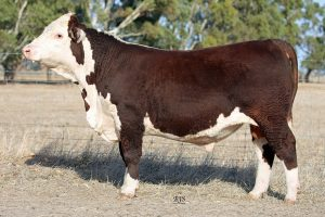 Wodonga National Sale Bulls 2019